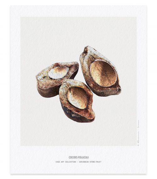 Cocoes folliculi